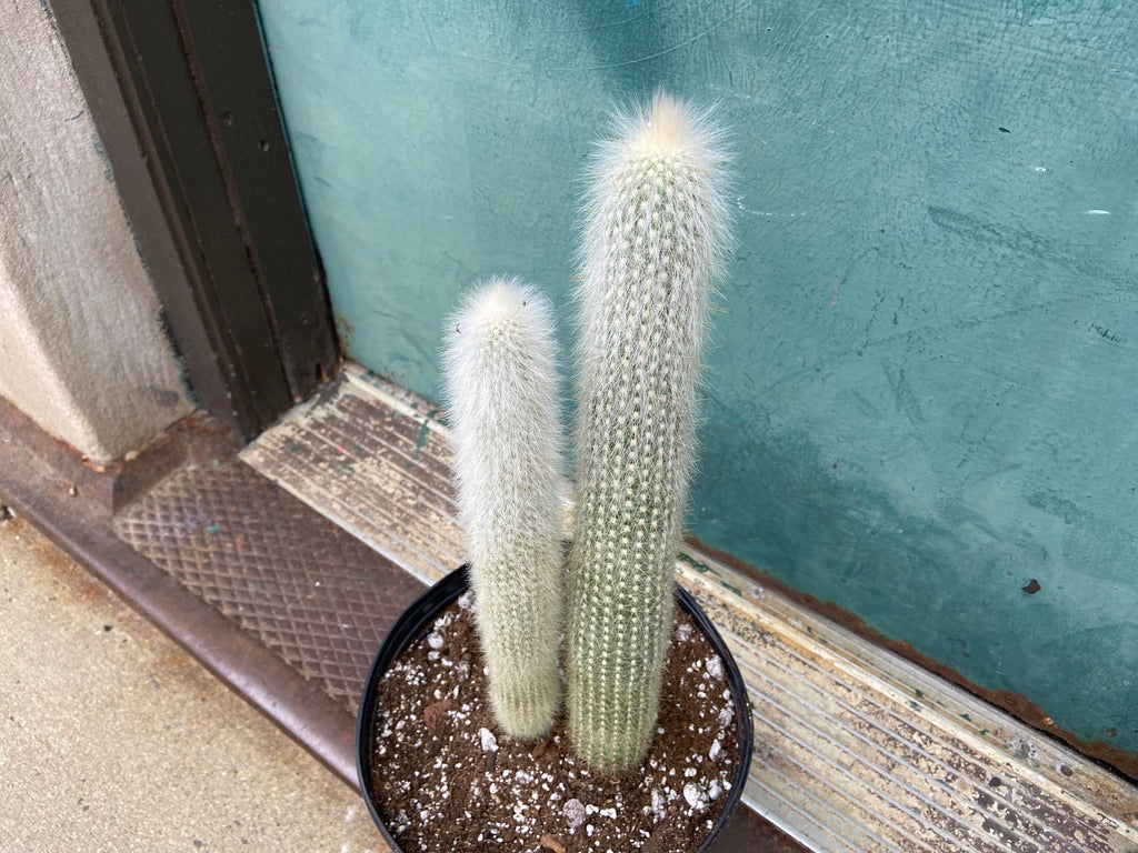 Silver Torch Cactus - 2FT Tall