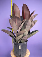 Load image into Gallery viewer, Rubber Plant (Burgundy) - 10""