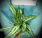 "Load image into Gallery viewer, Aglaonema ""Cutlass"" - 6"""
