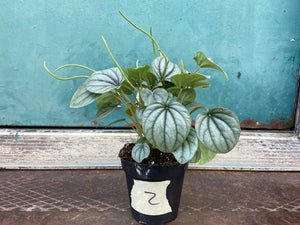 "Peperomia ""Frost"" 4"""