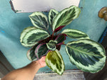 "Load image into Gallery viewer, Calathea ""Medallion"" - 6"""