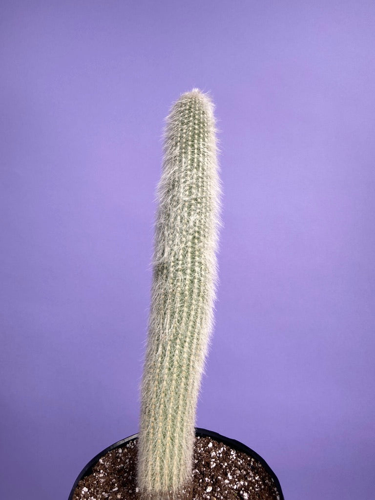 """Silver Torch"" Cactus - 20-24"""