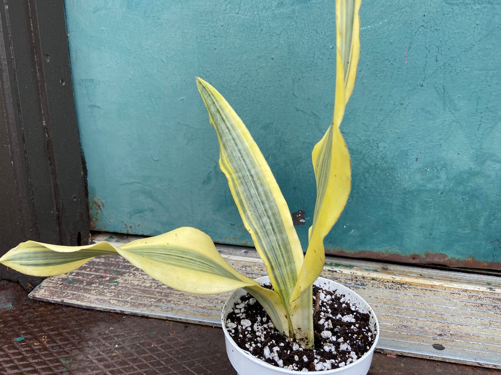 "Sansevieria ""Yellowstone"" - 20-24"" Tall"