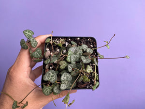 "Ceropegia Woodii ""String of Hearts"" - 4"""