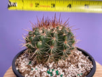 Load image into Gallery viewer, Cactus Sp. #6 - 6""