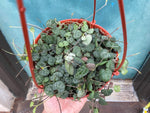 Load image into Gallery viewer, String of Hearts (Ceropegia woodii) - 6""