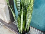 Load image into Gallery viewer, Sansevieria Zeylanica (Snake Plant) - 3.5FT