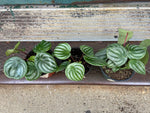 Load image into Gallery viewer, Watermelon Peperomia - 4""