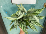 "Load image into Gallery viewer, Calathea ""Freddie"" - 6"""