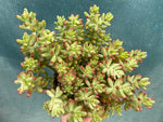 "Load image into Gallery viewer, Sedum Rubrotinctum ""Jelly Beans"" - 6"""