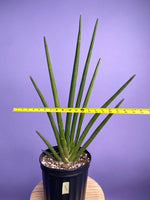 "Load image into Gallery viewer, Sansevieria ""Flatline"" - 8"""