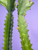 "Load image into Gallery viewer, Euphorbia Lactea - 27"" Tall"