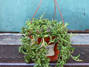 Hanging Basket - Ruby's Necklace - 6""