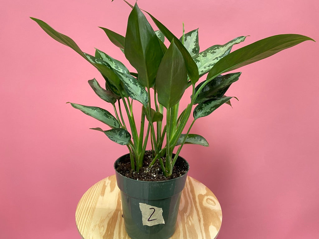 "Aglaonema ""Tigress"" (Variety 1) - 6"""