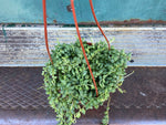 Load image into Gallery viewer, String of Pearls (Hanging Basket) - 6""