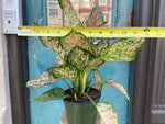 "Load image into Gallery viewer, Aglaonema ""Lady Valentine"" - 6"""
