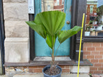 Load image into Gallery viewer, Licuala Grandis (Fan Palm) - 4FT Tall