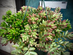 "Load image into Gallery viewer, Sedum Rubrotinctum ""Jelly Beans"" - 8"""
