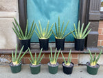Load image into Gallery viewer, Sansevieria Cylindrica (Single) - 6""
