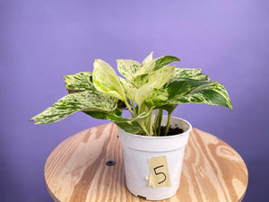 "Pothos ""Snow Queen"" - 4"""