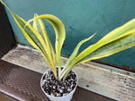 "Load image into Gallery viewer, Sansevieria ""Yellowstone"" - 20-24"" Tall"