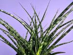 "Load image into Gallery viewer, Sansevieria Fernwood ""Mikado"" - 2FT"