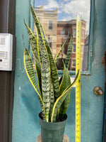Load image into Gallery viewer, Sansevieria Laurentii (Snake Plant) - 2FT