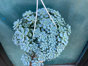Graptosedum Sp (Hanging). - 8""