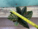 "Load image into Gallery viewer, Calathea ""Pink Pinstripe"" - 6"""