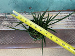 "Load image into Gallery viewer, Sansevieria Fernwood ""Makido"" - 6"""