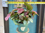 Load image into Gallery viewer, Syngonium Pink - 6""