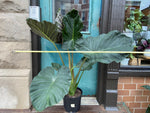 "Load image into Gallery viewer, Alocasia ""Regal Shield"" - 3-4FT Tall"