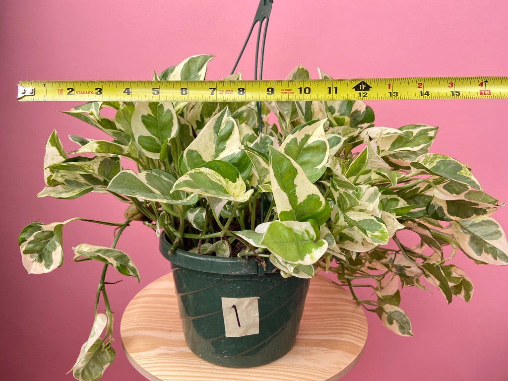 "Pothos ""Pearl and Jade"" - 8"""