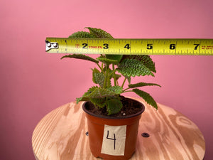 "Pilea ""Moon Valley"" - 4"""
