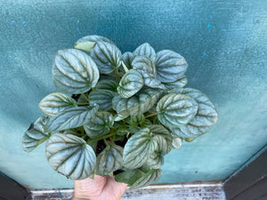 "Peperomia ""Frost"" 6"""