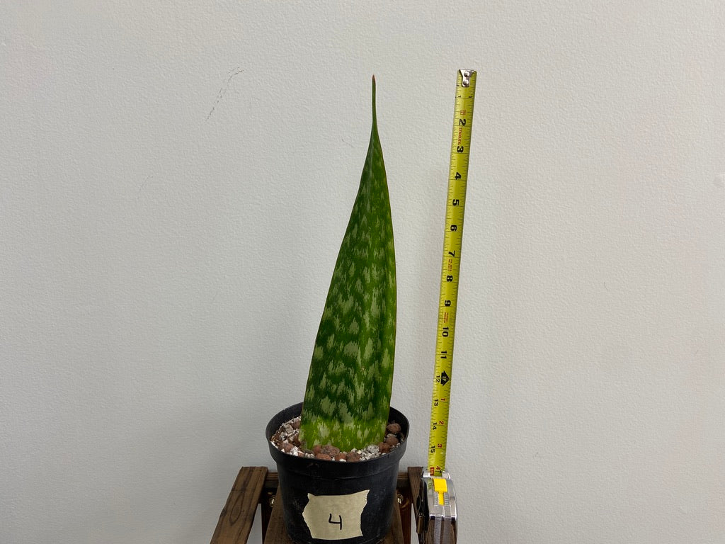 "Sansevieria ""Danish Crown"" - 6"""