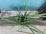 Load image into Gallery viewer, Sansevieria Cylindrica (Full Pot) - 6""
