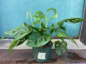 Monstera Adansonii (Wide Leaf) - 6""