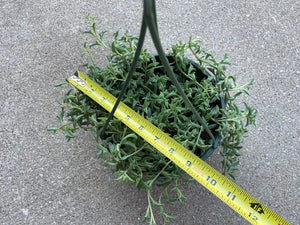 Senecio String of Dolphins (Hanging) - 8""