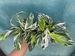 "Load image into Gallery viewer, Calathea ""White Fusion"" - 4"""