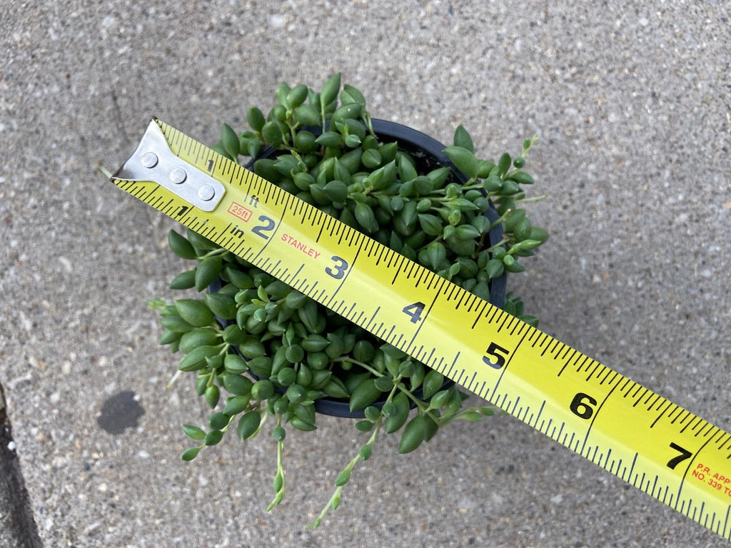 "Senecio ""String of Beads"" - 4"""