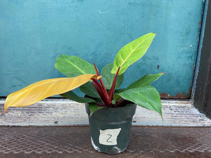 "Philodendron ""Prince of Orange"""