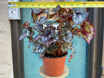 Load image into Gallery viewer, Rex Begonia Sp. #2 - 6""