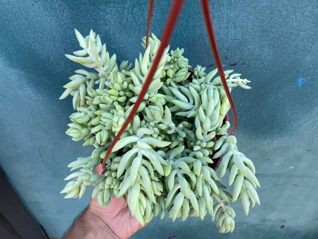 "Sedeveria ""Giant Burro's Tail"" - 6"""
