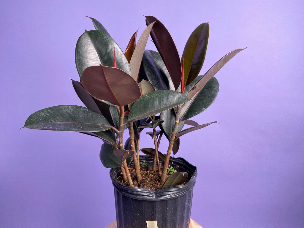 Rubber Plant (Burgundy) - 10""