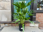 Load image into Gallery viewer, Livistona Chinensis (Chinese Fan Palm) - 3.5FT Tall