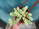 Load image into Gallery viewer, Sedum Burro's Tail - 6""