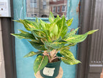 "Load image into Gallery viewer, Aglaonema ""Sparkling Sarah"" - 6"""