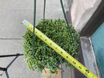Load image into Gallery viewer, String of Pearls (Hanging Basket) - 8""