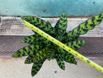 "Load image into Gallery viewer, Calathea ""Rattlesnake"" - 6"""